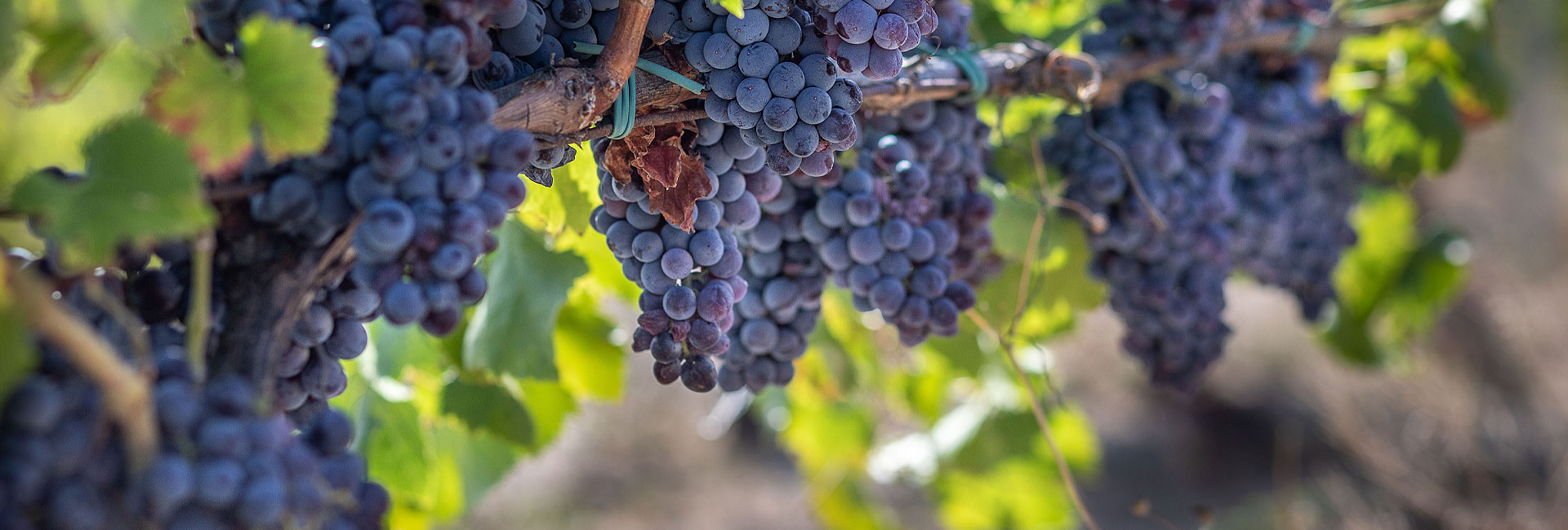 Produzione vini Cannonau
